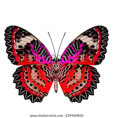 Exotic Red Butterfly with pink wings (Leopard Lacewing) in fancy color profile isolated on white background - stock photo