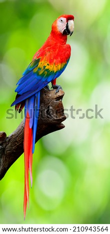Exotic Scaret Macaw parrot perching on the log with nice green bokeh background - stock photo