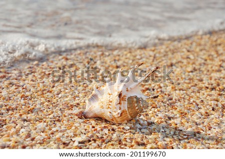 Exotic shell on the beach and calm surf behind