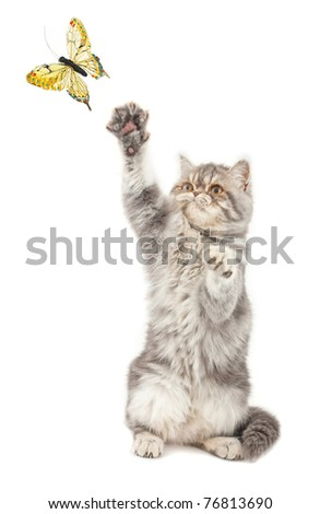 Exotic short-haired kitten playing with a butterfly - stock photo
