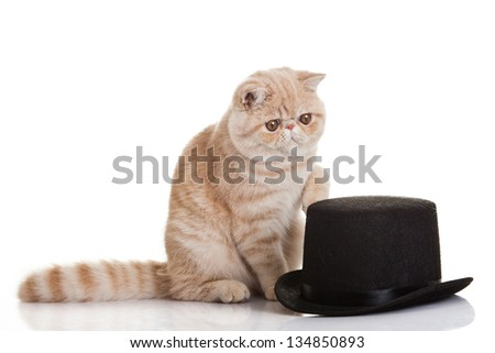 Exotic shorthair cat.Cute tabby kitten playing on white background