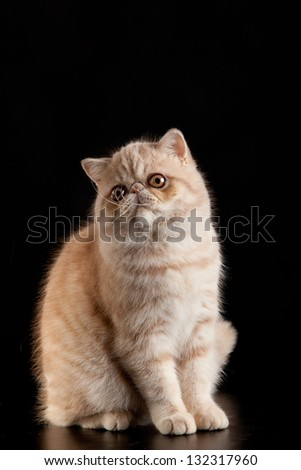 Exotic shorthair cat. Exotic domestic cat on black background. - stock photo