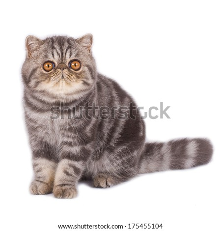 Exotic shorthair cat sitting and looking at the camera  on a white background - stock photo
