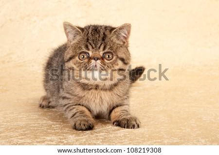 Exotic tabby kitten on gold beige background - stock photo