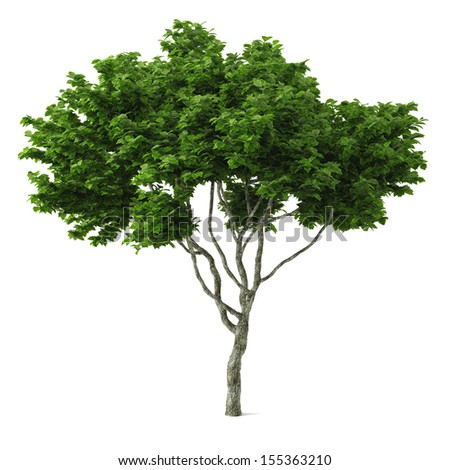 exotic tree isolated. - stock photo