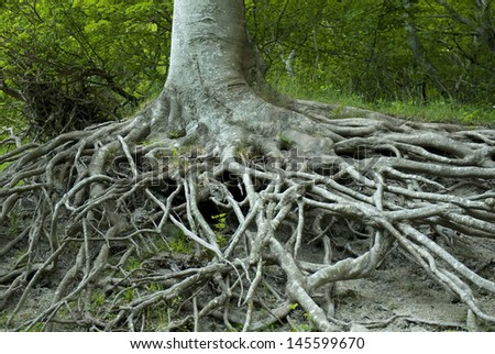 Exposed tree roots from erosion. M�¸ns Klint, Denmark. - stock photo