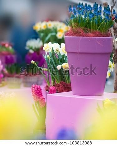 Exposure of flowers in pots in Keukenhof garden, Holland - stock photo