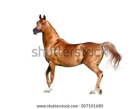 Expressive chestnut arabian horse isolated on white - stock photo