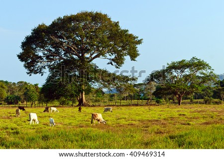 Extensive cattle farming in tropical climate of Costa Rica (Guanacaste region).  - stock photo
