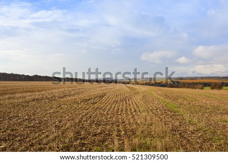 extensive straw stubble fields with colorful larch woodlands in a yorkshire wolds landscape with hills and hedgerows under a blue cloudy sky