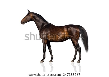 Exterior beautiful bay horse isolated on white background