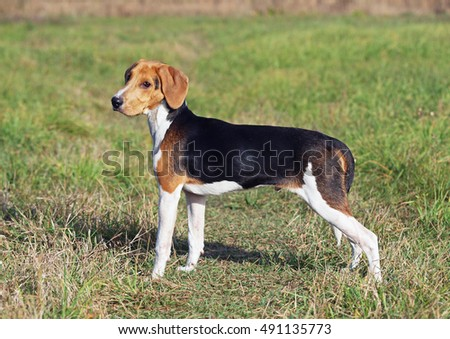 Exterior  of the beautiful Estonian hound puppy on natural background