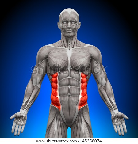 External Oblique - Anatomy Muscles - stock photo