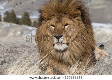 Extinct in the wild Barbary or Atlas Lion on windswept hill