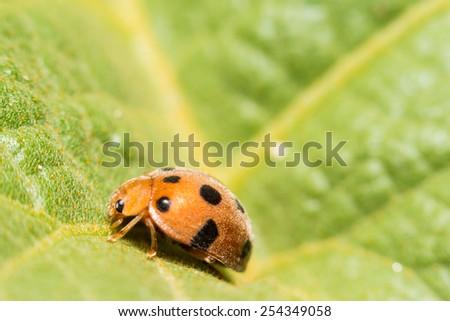 extra soft focus ladybug macro on green leaf - stock photo