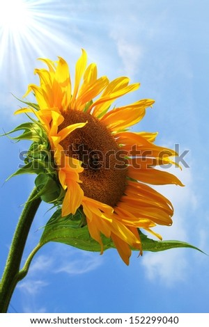 extraordinary, beautiful yellow sunflower - stock photo