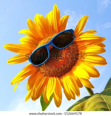 extraordinary, beautiful yellow sunflower with sunglasses  - stock photo