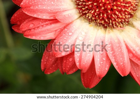 Extreme close-up of a pink gerbera flower with dew drops - stock photo
