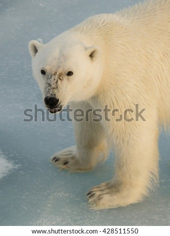 Extreme close up of a polar bear standing on an ice floe north of Svalbard. - stock photo