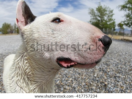 Extreme close up of a white bull terrier taken with a fish eye lens - stock photo