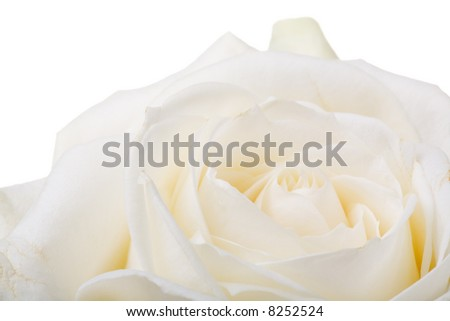 Extreme close up of a white rose. Isolated.