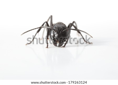 Extreme close up of ant over white background, low point of view  - stock photo