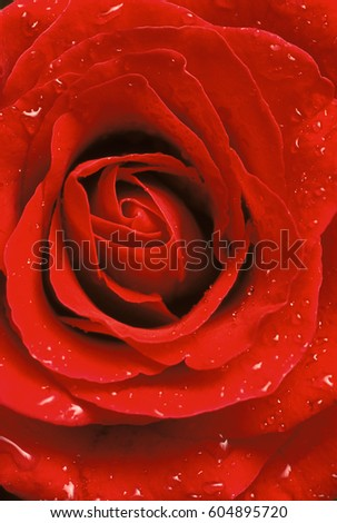 Extreme close-up of center of red rose with water droplets