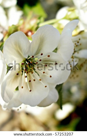 Extreme close up of cherry blossoms - stock photo