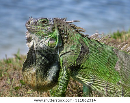Extreme close-up of common Green Iguana by lake with neck dewlap on display