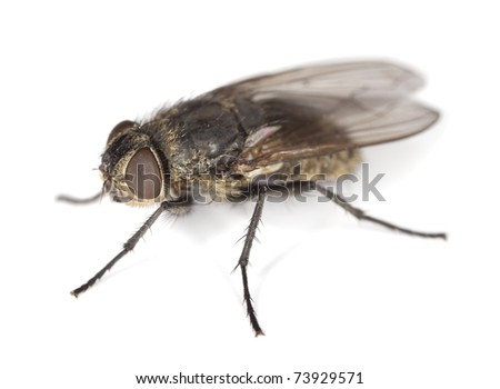 Extreme close-up of House fly isolated on white background - stock photo