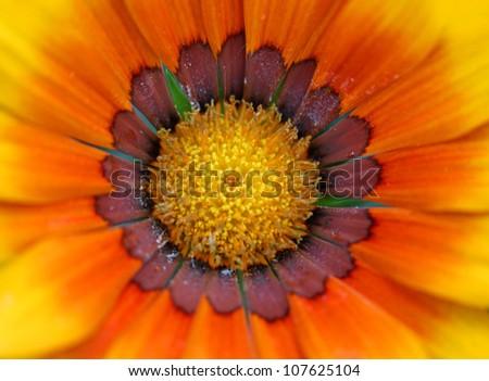Extreme close up shot of orange Zinnia flower - stock photo