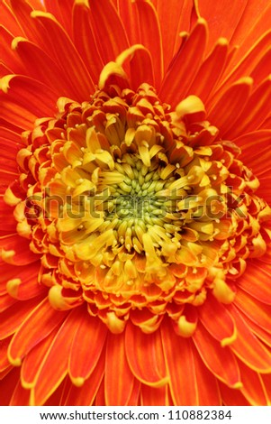 Extreme closeup(macro) photo of beautiful gerbera flower in bright red, orange and yellow colors. Gerbera belongs to sunflower family and is scientifically known as Gerbera jamesonii - stock photo