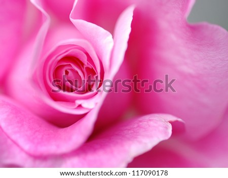 Extreme closeup of a blossoming pink rose. - stock photo