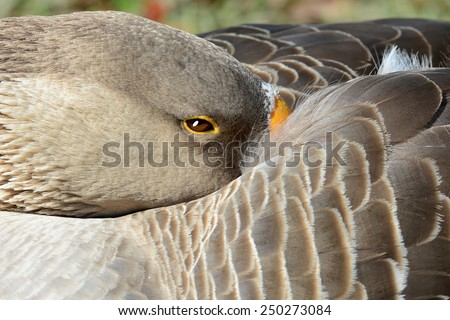 Extreme closeup of a brown goose with beak tucked under wing. - stock photo