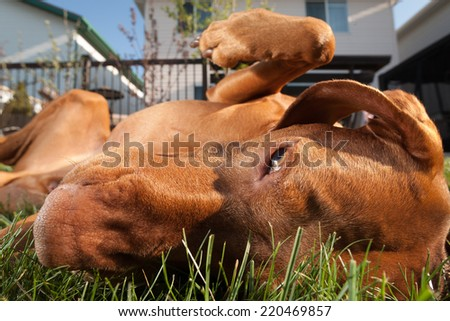 extreme closeup of a dog rolled over in the grass