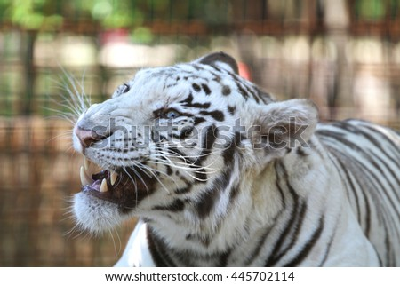 Extreme closeup of a snarling white bengal tiger - stock photo