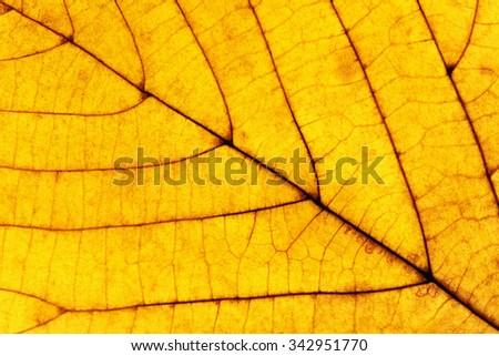 Extreme Closeup of a Yellow Autumn Leaf - stock photo