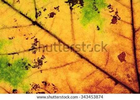 Extreme Closeup of an Autumn Leaf  - stock photo