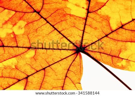 Extreme Closeup of Autumn Leaf - Isolated on White - stock photo