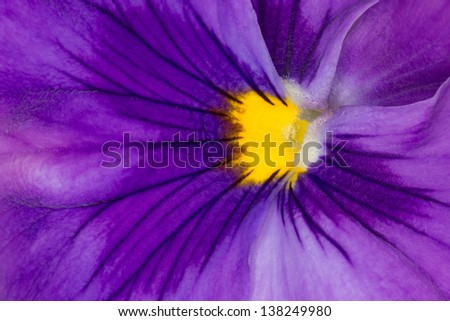 Extreme Closeup of Beautiful Purple Pansy Violax wittrockiana - stock photo
