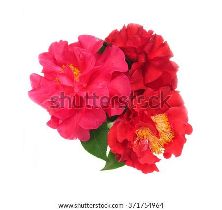 Extreme Depth of Field Photo of a Camellia Blossoms with Dew Isolated on White          - stock photo