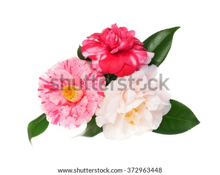 Extreme Depth of Field Photo of Three Multicolored Camellias Isolated on White - stock photo