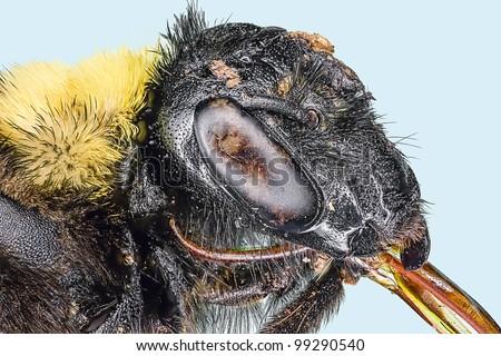 Extreme macro bumble bee  bug insect (Bombus terrestris) - stock photo