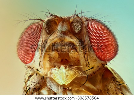 extreme macro fruit fly  - stock photo