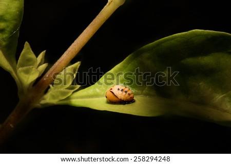 Extreme macro ladybug pupa on the green leaf. - stock photo