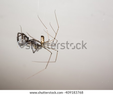 Extreme macro of a Daddy longlegs spider (Pholcus phalangioides) feeding on a trapped wolf spider in a house in England - stock photo