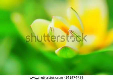 extreme macro of delicate flower bud in white, pink, yellow and green, soft and dreamy, tulipa tarda - stock photo