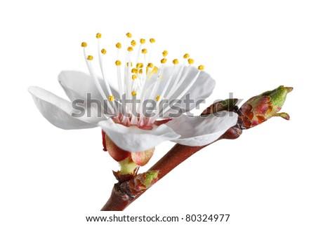 Extreme macro of fruit-tree bloom isolated on white - stock photo