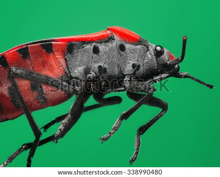 Extreme magnification and super macro topic: Red soldier bug on a green background in the studio - stock photo
