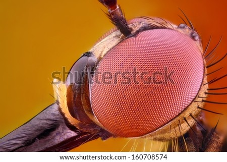 Extreme sharp and detailed study of Dagger fly head taken with 10x microscope objective stacked from many shots into one very sharp photo.  - stock photo